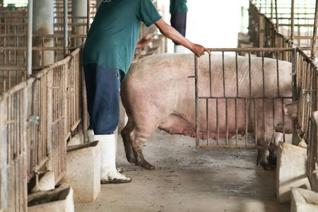 Farmers are corning back into the pig farm. Pig farm organic livestock rural agriculture.