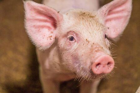 Close-up of piggy faces. Pig farm organic livestock rural agriculture. Reklamní fotografie