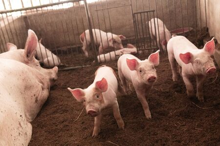 Many pigs are walking on the chaff in an organic pig farm. Rural farm livestock.
