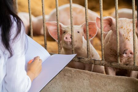 The veterinarian is saving information about the piglets in the notebook. For good health and prevention of swine flu. Soft focus and article usage Pig .farm organic livestock rural agriculture Reklamní fotografie