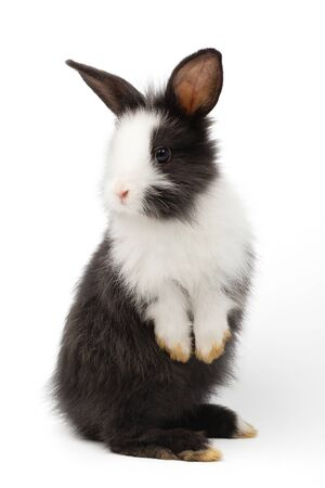 Adorable baby black and white rabbit standing and looking at the top. Studio shot, isolated on white background include clipping path Reklamní fotografie