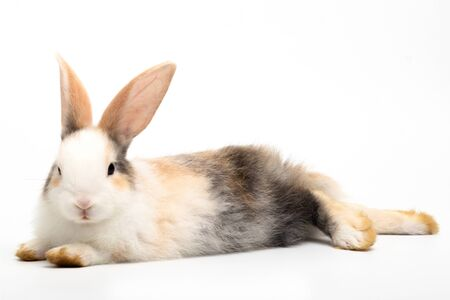 The three colored rabbit laying down and looking at the camera isolated on white background