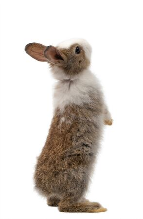 new-born rabbit standing and looking at the top. Studio shot, isolated on white background
