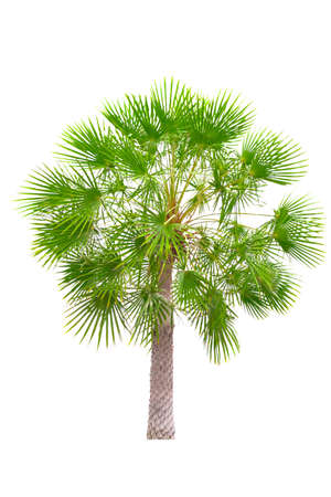 Small Young Sugar Palm tree Isolated white background Reklamní fotografie