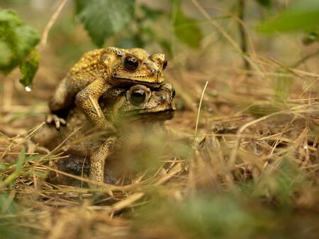 Mating toad After the rain stopped to expand the tribe