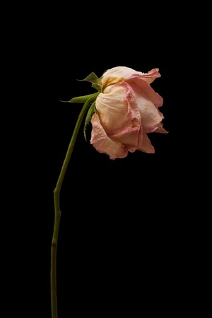 Wilted rose isolated Stock Photo - 7365097