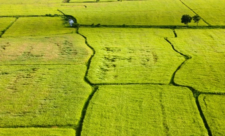 Filed rice in thailand. photo