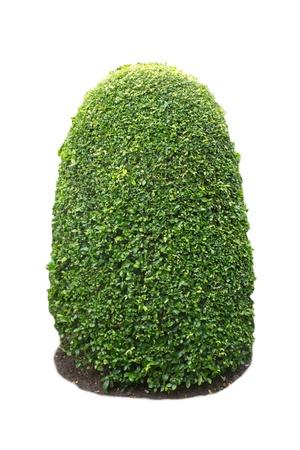 Green bush on white background Stock Photo