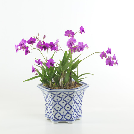 plant in pot: Orchid isolated