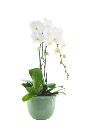 orchidee: orchidea bianca isolato