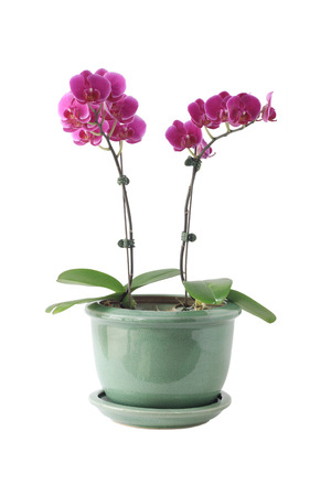 Orchid isolated.