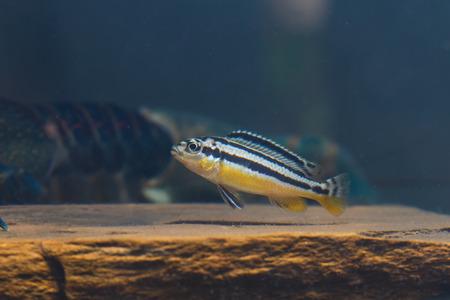 danio rerio: Zebra fish