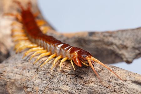 centipede Reklamní fotografie