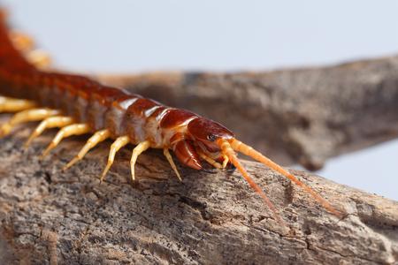 segmented bodies: centipede Stock Photo
