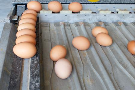 sorting: Sorting eggs Stock Photo