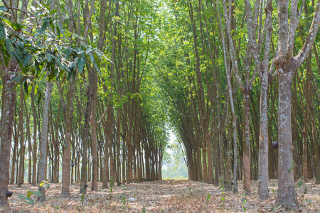rubber: rubber trees