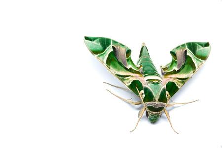 deilephila: Moth Guard Month wraps and Oleander Hawk moth