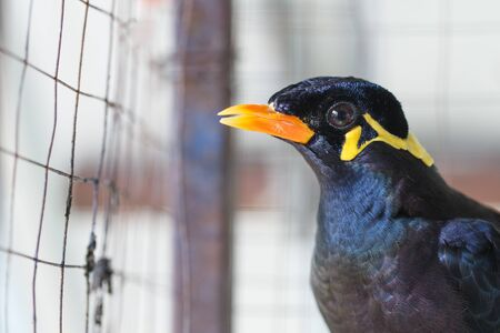common myna bird: Acridotheres in a cage