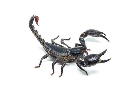 Scorpion isolated on white background Banque d'images