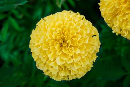 marigold flowers in the garden blur