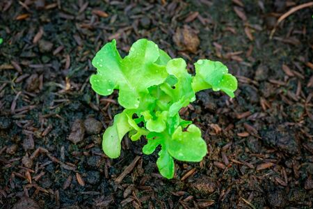 Closeup green lettuce in the vegetable plot