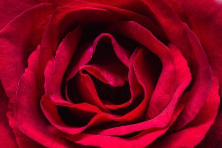 Zbliżenie czerwonej róży szczegółowej sztuki