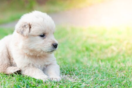 Little puppy golden Retriever sitting in the lawn detail animal pet art