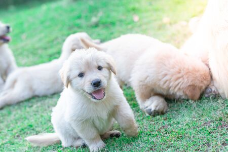 Golden retriever puppies stick out their tongue smiling and having fun on the lawn detail art blur Stockfoto