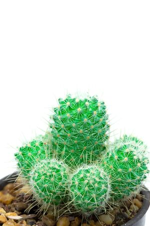 Closeup green cactus isolated on white background detail nature Stockfoto