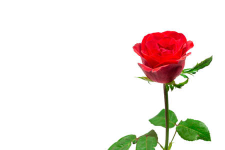 Red fresh roses  in a row isolated on white background. Clipping path