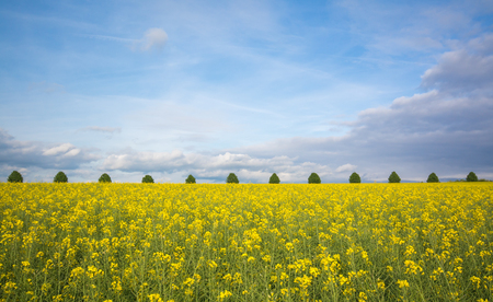 mustard field: Bright yellow mustard field buildings against blue sky in summer