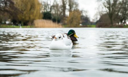 color image mallard duck: Birds on  lake water Stock Photo