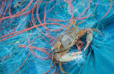 blue swimmer crab: Horse crab