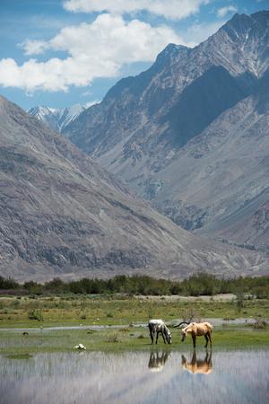 Horses graze Mountain Range Landscape, Leh Ladakh , India