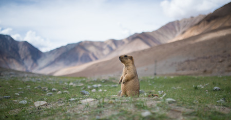 Prairie dog, Leh Ladakh , India Stock Photo