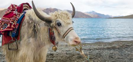 tibetian: Himalayan Yak, Pangong Lake, Ladakh, India Stock Photo