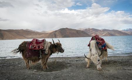 Himalayan Yak, Pangong Lake, Ladakh, India Stock Photo