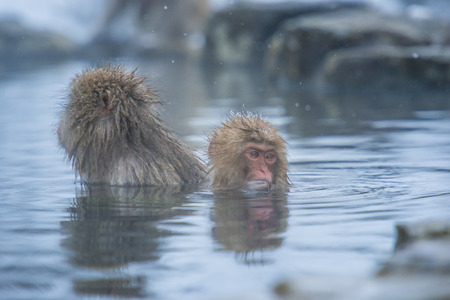 Snow monkey in a hot spring, Nagano, Japan.