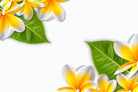 frangipani flower: The beautiful plumerias put on right angle and left angle. Stock Photo
