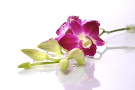 jardines con flores: Hermosa orquídea tailandesa con fondo blanco aislado. Foto de archivo