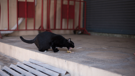 starving: Homeless cat wander around the street. She is also pregnant and starving. This can be used in animal protection organization