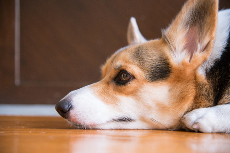 Lazy pembroke welsh corgi lay on the floor waiting for someone to come back home. sleepy and almost inactive. Focus is on the eye