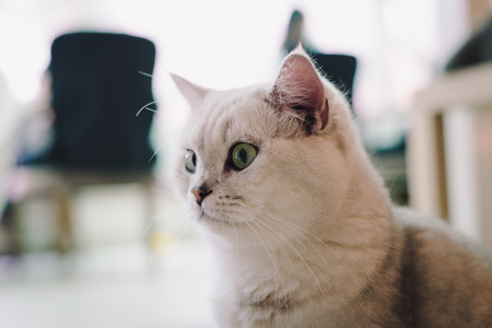 shifted: A portraiture of a cat in the room filled with soft light and use a soft focus. Main focus is on the eyes while WB is shifted intendedly. Relax and comfort.cat