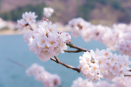 balance symbolic: A cherry blossom in Japan called Sakura blooming on its branch in Spring Stock Photo