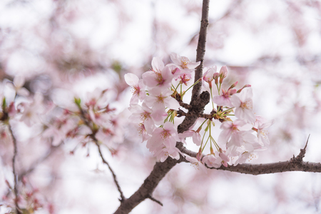 gloom: A cherry blossom bloom and gloom in Japan. Sakura is al so the symbol of Japanese Spring