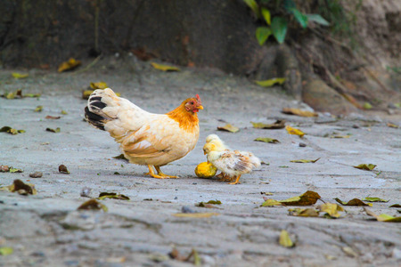 Chicken with its baby chicks photo