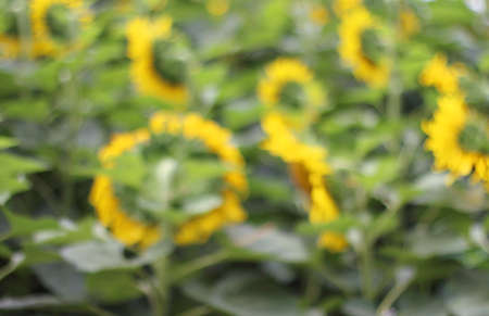 lambent: Abstract motion blur floral backgrounds with yellow flowers , Sunflower blur. Stock Photo