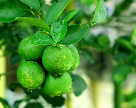 Thai green lemon Tree.