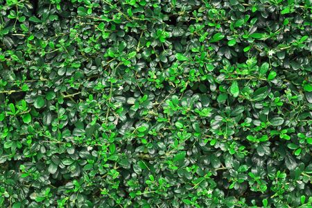 shrubbery: shrubbery, Green hedges Stock Photo