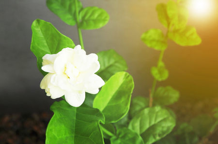Close up jasmine flower blooming in the garden.